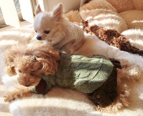 トイプードルとチワワ ~スタッフ犬達~