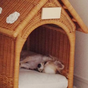 ぐっすり眠るチワワのソフィー