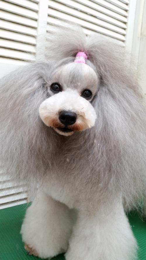 トイプードルの看板犬♪