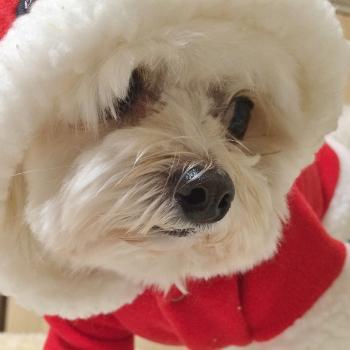 ミックス犬W君 サンタの洋服で