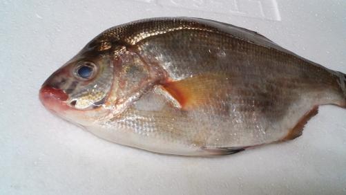 珍しい魚。タナゴの刺身!