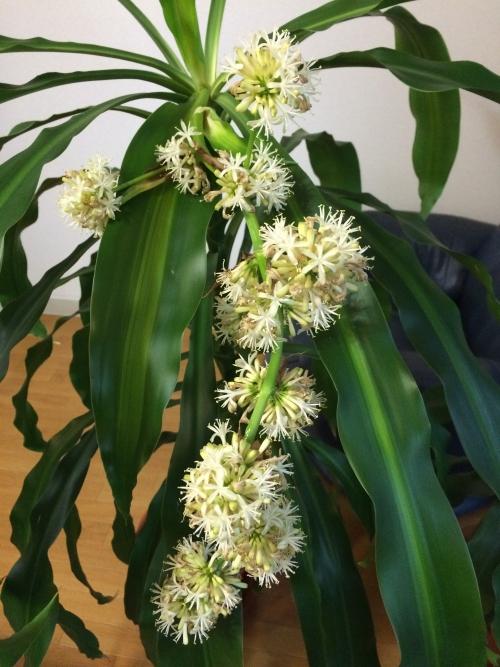 幸福の木の花20150122夕方