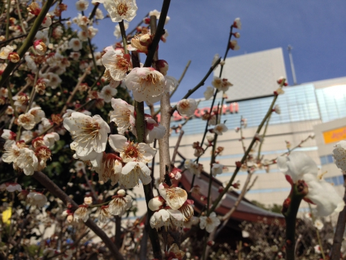 天神で梅の花が咲いてました!