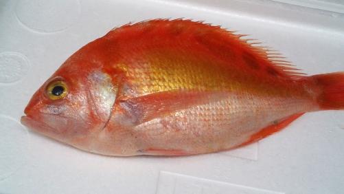 赤イサキ(赤伊佐木)。白身魚で刺身が美味い!