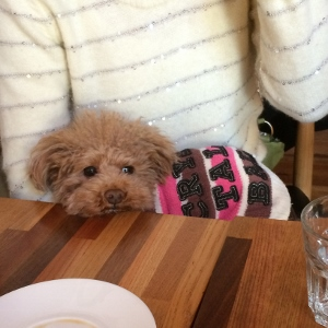ドッグカフェで☆トイプー