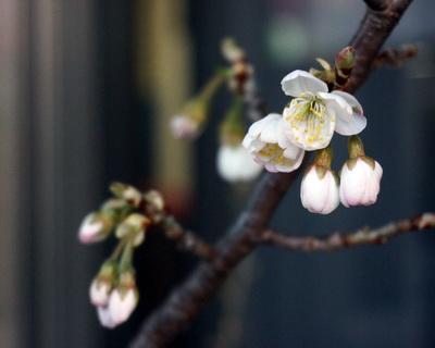 桜の花が咲きました。陶芸教室の玄関に飾りました。
