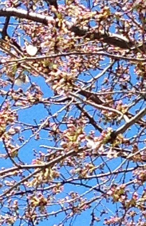 渋谷区にある代々幡斎場の桜と共に~