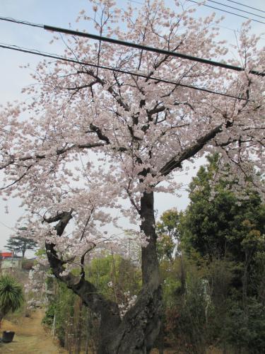 4月1日!桜の下で!