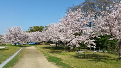 福岡 舞鶴公園 花見情報