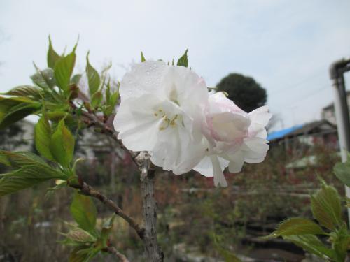 桜前線ど真ん中!埼玉植物園圃場です!