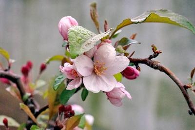 自作の植木鉢で育てているズミの木に可憐な花が、、。