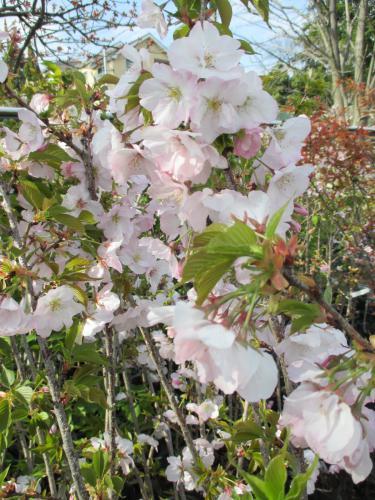 御車返し!桜の植木、桜苗木はお任せください!