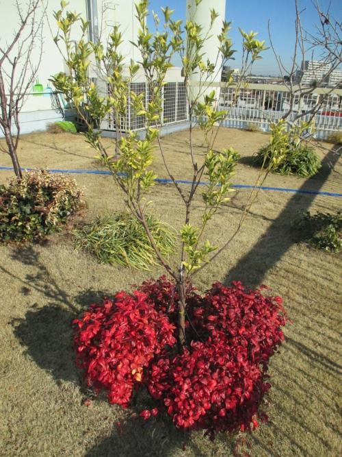 安行四季彩マットの屋上緑化!収穫の庭!