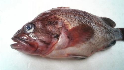 白身魚のマソイ。刺身でどうぞ!ヘルシーです。