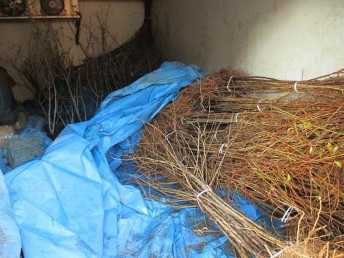 低温倉庫で夏まで貯蔵可能!川口より苗木の販売!