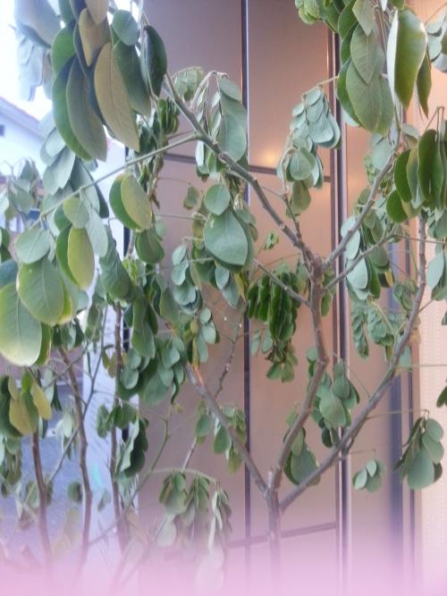 モンキーポッドの木