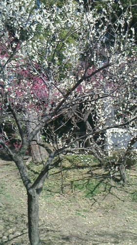 国立市の谷保天満宮へ梅をみにいきました。