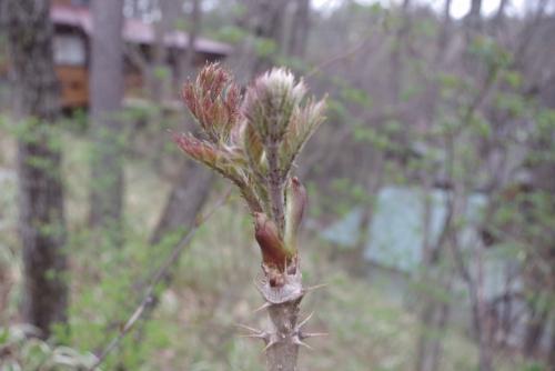 旬を迎えた天然のたらの芽