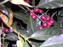 コーヒーの産地『エチオピア』