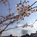 中洲川端でも桜が咲いていました。