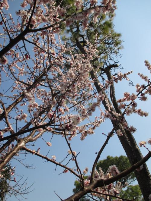 満開の桃の白鳳!植木屋さんな景色!