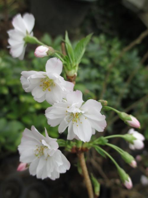 春にも秋にも咲く!十月桜!桜の植木苗木の販売!