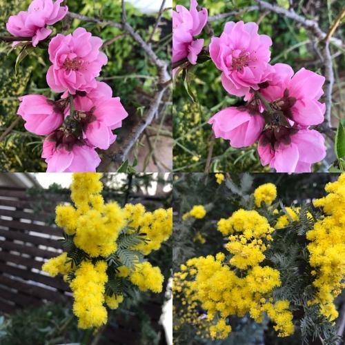 亡き母の思い出の桃の花が咲きました。