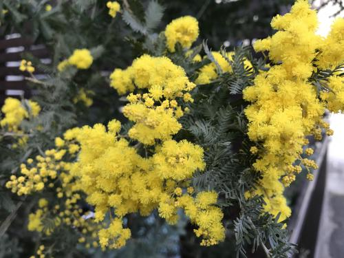 3月8日はミモザの日!悩み問題はちょっと横に置いてお花に注目