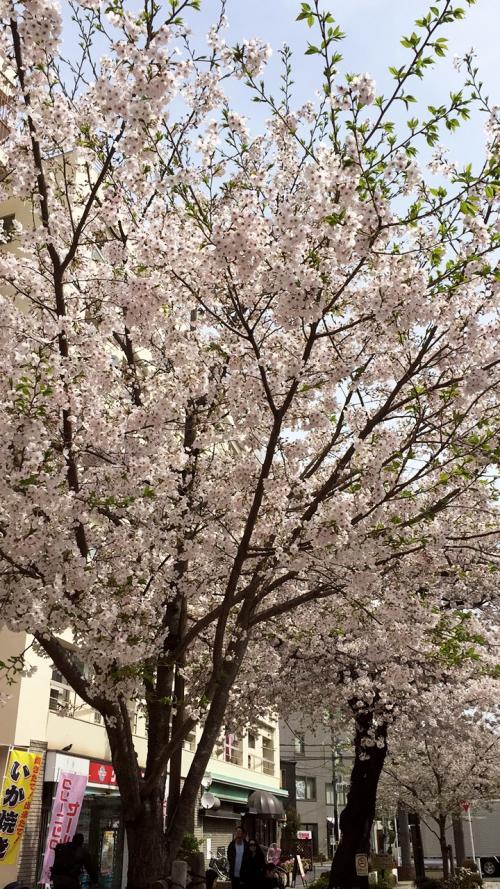 春!桜!自由が丘!奥沢!Arielle~□♥️