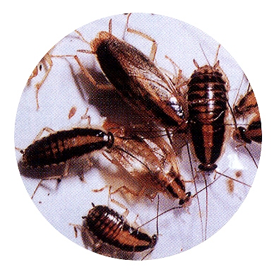 ゴキブリ駆除 群馬県大泉町の飲食店