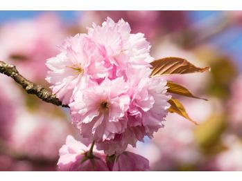 春にオススメは桜オイル♪抗酸化でクリーンアップ♪