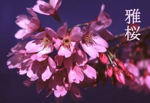 雅桜!プリンセス雅!桜苗木・植木の販売!