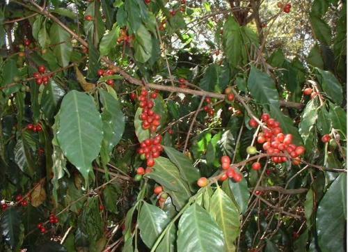 植物群のコーヒー