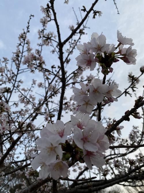 梅の季節だけど桜