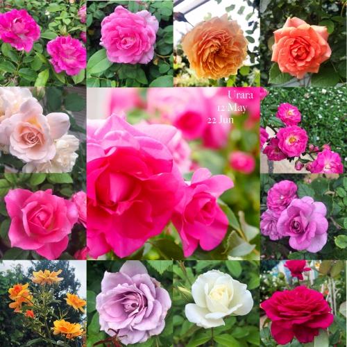 現在の鉢バラの開花状況