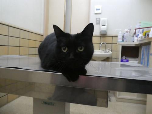 1/10ワクチン 和猫 動物病院 名古屋市緑区天白区豊明市