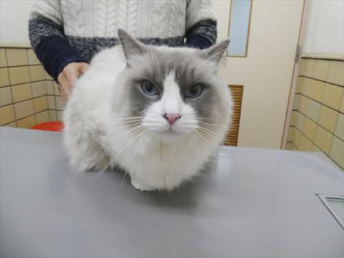 2/2ワクチン ラグドール、チワワ、和猫 動物病院