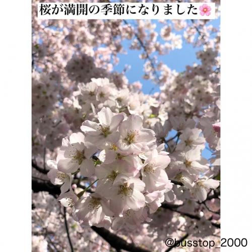 今日はOPEN前に近所の公園に桜を見に行ってきました!