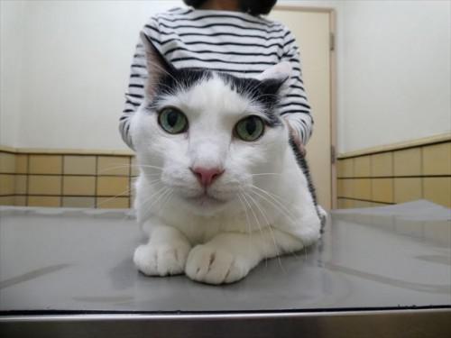 4/2ワクチン スコティッシュ、和猫 動物病院 名古屋市