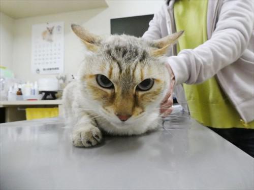 4/16ワクチン 和猫 動物病院 名古屋市緑区天白区豊明市