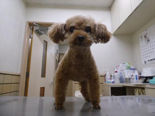 6/9ワクチン トイプー、和猫。シュナ 動物病院 名古屋市
