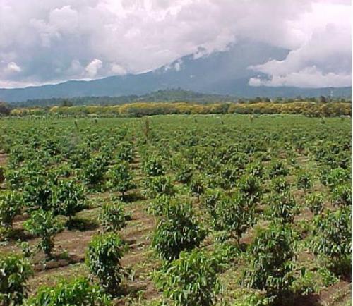 タンザニアのコーヒー