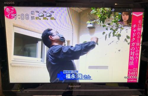 NHKのあさイチに出演しました! チャドクガの危険性とは!?