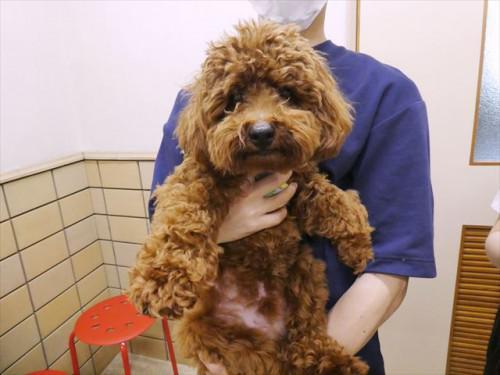 10/3ワクチン トイプー、和猫 動物病院 名古屋市緑区天白
